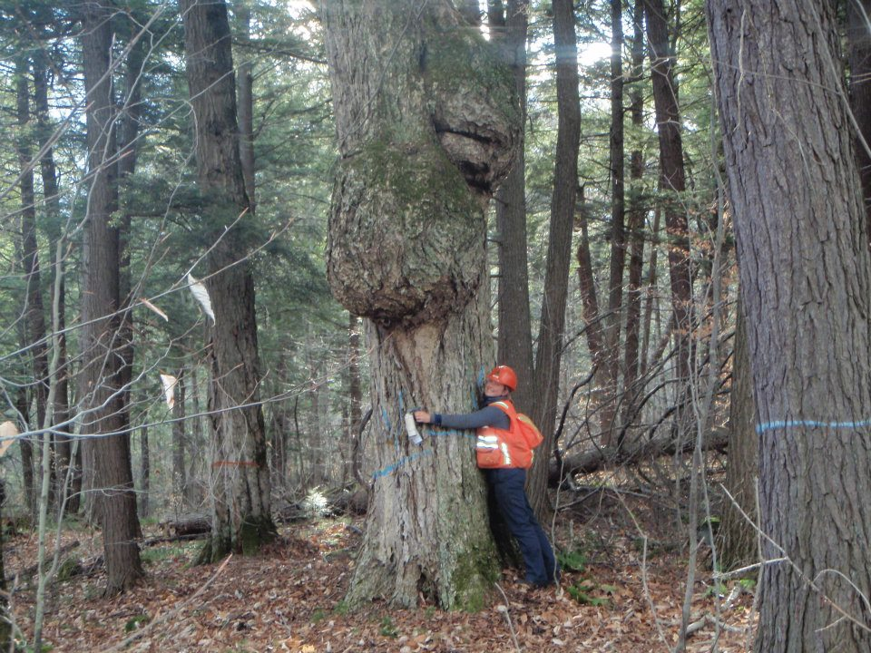 Burl tree marked for retention