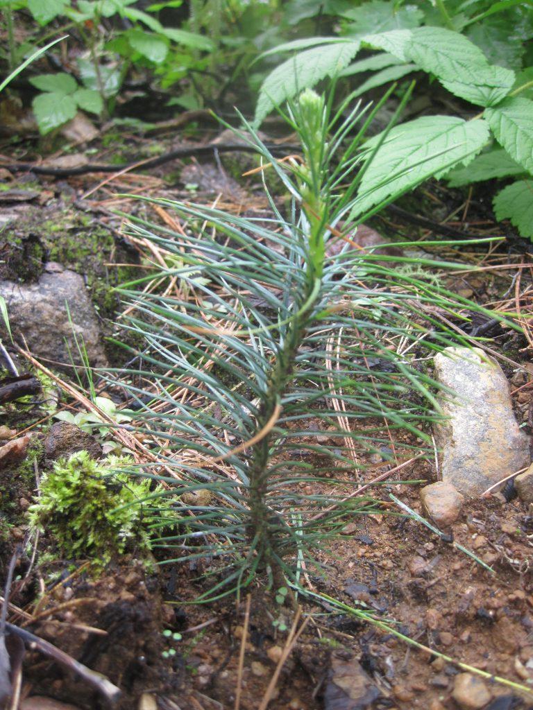 Planted white pine