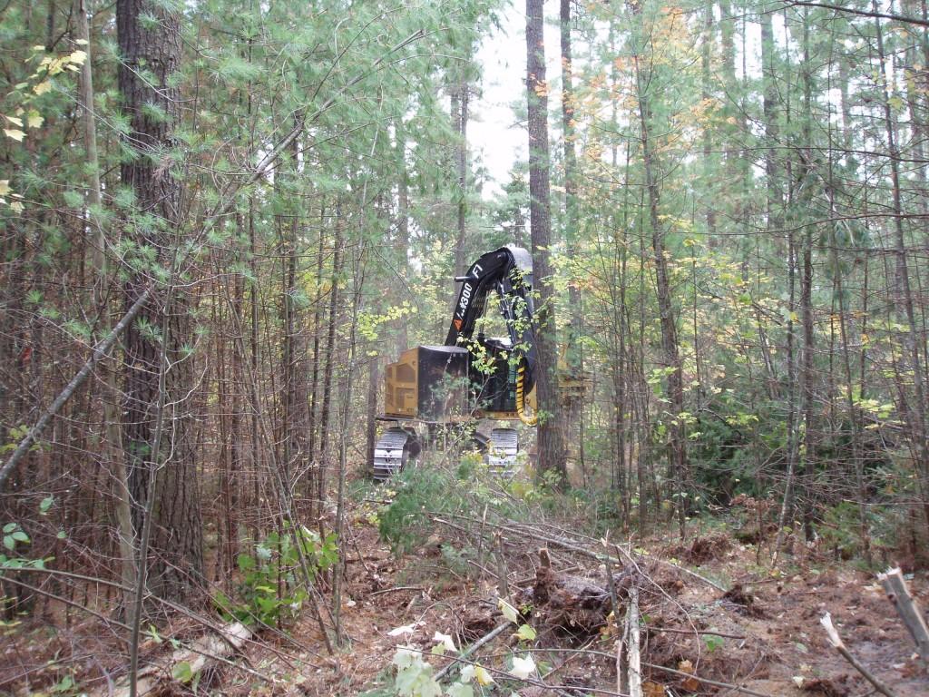 White pine shelterwood final removal cut